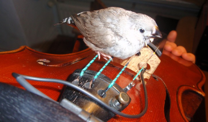 Zebra finch taught by violinist